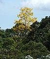 Guayacán amarillo (Tabebuia chrysantha) (14720418676).jpg
