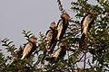 Guira cuckoos (Guira guira).JPG