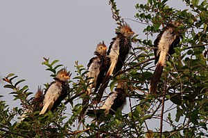 Egg tossing (behavior) - Guira cuckoos