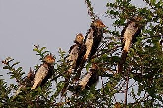 Egg tossing (behavior) - Guira cuckoos