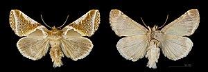 Buff arches - Image: Habrosyne pyritoides MHNT.CUT.2012.0.356. Crest Voland