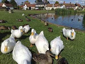 Haddenham, Buckinghamshire - Aylesbury ducks by the pond