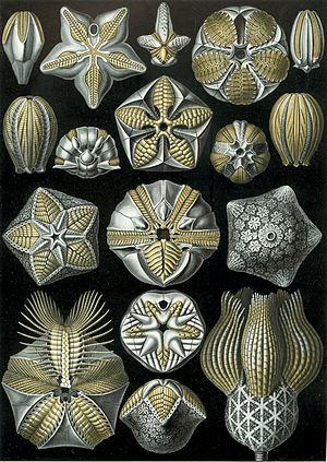 """Blastoid - """"Blastoidea"""", from Ernst Haeckel's Art Forms of Nature, 1904"""
