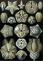 Haeckel Blastoidea.jpg