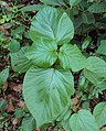 Haldina cordifolia 04a.JPG