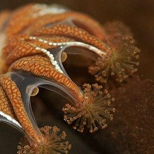 Stauromedusae - Image: Haliclystus stejnegeri 1