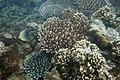 Hard corals and baroness butterflyfish Chaetodon baronessa (5799871683).jpg