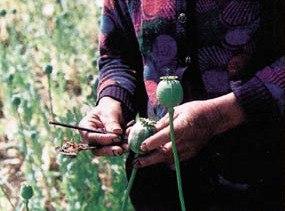Harvesting opium