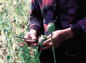 Opiate - Harvesting the poppy pod.