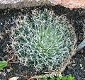 Haworthia arachnoidea - cobweb aloe.jpg