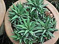 Haworthia from Lalbagh garden 8709.JPG
