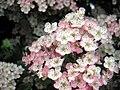 Hawthorn in bloom - Flickr - Maura McDonnell.jpg
