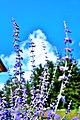 Healthy lavenders at Pure Lavande - panoramio.jpg