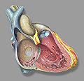 Heart right anatomy.jpg