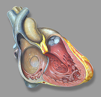 Atrium (heart) - Right heart anatomy
