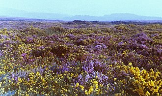 Heath - Heathland at Woodbury Common, Devon (England), featuring purple flowers of Calluna vulgaris and yellow flowers of Ulex gallii