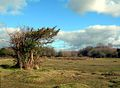 Heath near Eyeworth Pond - Bush with Quiff - panoramio.jpg