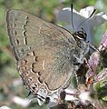Hedgerow Hairstreak.jpg