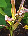 Hedychium coccineum in Dunedin Botanic Garden.jpg