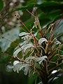 Hedychium villosa P1150001 03.jpg