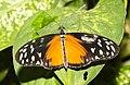 Heliconius hecale Naturospace Honfleur -7210.jpg