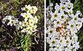 Heliotropium stenophyllum (8401554016).jpg