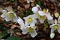 Helleborus niger Anthese 01.jpg