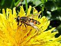 Helophilus pendulus (Hoverfly sp.), Elst (Gld), the Netherlands - 2.jpg