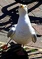 Herring gull, Weymouth - geograph.org.uk - 1839218.jpg