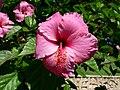 Hibiscus cartagena 2007 (ampliar) - panoramio.jpg