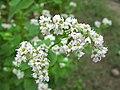 Hidaka Kinchakuda Buckwheat Flower 1.JPG