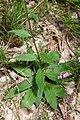 Hieracium laevigatum leaf (02).jpg