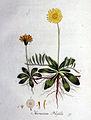 Hieracium pilosella — Flora Batava — Volume v1.jpg
