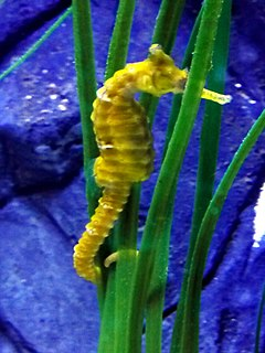 Tiger tail seahorse species of fish