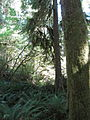Hoh Rainforest - Olympic National Park - Washington State (9780166072).jpg