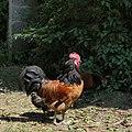 Hohenloher Freilandmuseum - boss chicken (29547283438).jpg