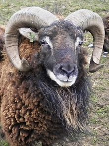 The face and horns of a ram with brown wool
