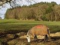 Horses near Moyles Court - geograph.org.uk - 675324.jpg