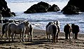 Horses on the beach at the tip of Llanddwyn Island - geograph.org.uk - 347072.jpg