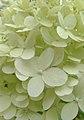 Hortensja bukietowa. (Hydrangea paniculata). 01.jpg