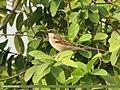 House Sparrow (Passer domesticus) (15887485602).jpg