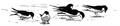 Huiszwaluw Delichon urbica Jos Zwarts 20.tif