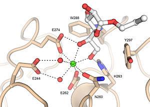 Intelectin - Image: Human intelectin 1 ligand binding site