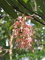 Humboldtia brunonis - Brown's Humboldtia at Peravoor (6).jpg