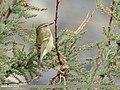 Hume's Warbler (Phylloscopus humei) (48701032331).jpg