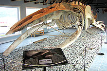 A humpback skeleton with the jaw split into two
