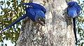 Hyacinth Macaws (Anodorhynchus hyacinthinus) on nest ... (48386178466).jpg