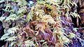 Hylocomium splendens (Stairstep Moss ) near Ipsut Falls - Flickr - brewbooks.jpg