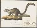 Hylogale javanica - 1700-1880 - Print - Iconographia Zoologica - Special Collections University of Amsterdam - UBA01 IZ20900047.tif