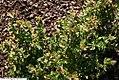 Hypericum hypericoides multicaule 1zz.jpg